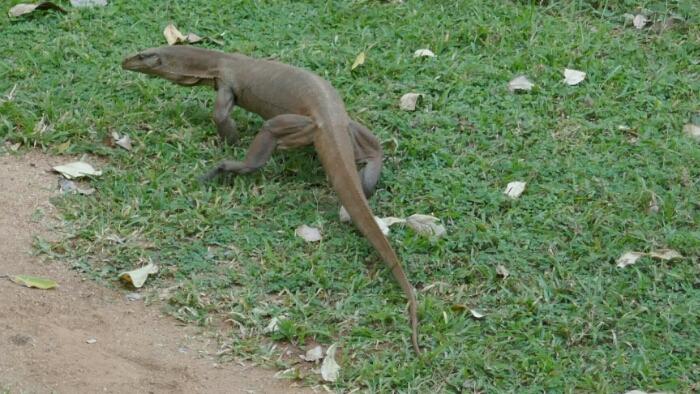 Mange rare dyr i parken rundt Sigiriya Rock Fortress