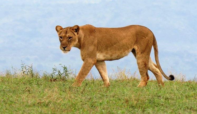 Se løve fra motorsykkel i Afrika