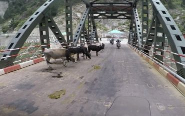Vanlig syn i India, kuer blokkerer veibanen!